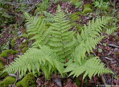 Marginal Woodfern  Dryopteris marginalis    • Family: Dryopteridaceae  • Habitat: rich woodlands, especially on rocky slopes or outcroppings  • Height: fronds 1-2 feet long  • Location of spores: spores on undersides of leaflets along edges  • Stipe (leaf stalk): stout, ungrooved, brown-green above, darker near base, covered with dense, light-brown scales near base, more sparse above  • Growth pattern: asymmetric clump  • Persistence: evergreen