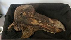 The Oxford dodo head (From Wikimedia Commons)