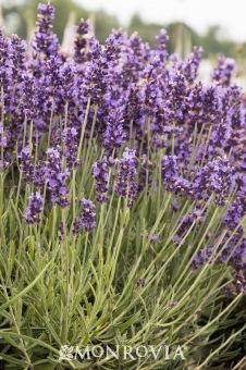 Monrovia's Hidcote Blue English Lavender details and information. Learn more about Monrovia plants and best practices for best possible plant performance. Lavender Cottage, Lavender Garden, Lavender Fields, Small Garden Shrubs, Lavender Hidcote, Lavender Varieties, Monrovia Plants, Plant Catalogs, Chinese Garden