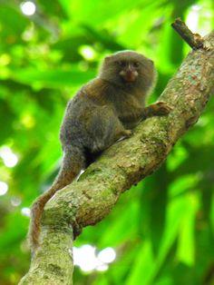 (By Rodrigo Canizo) Pygmy Marmoset, New World Monkey, Monkeys, Mammals, Brazil, Wildlife, Primates, Nature, Beast