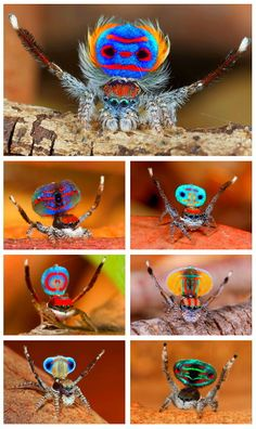 Watch the spectacular mating ritual of the dramatically colored male peacock spiders in south-east Australia