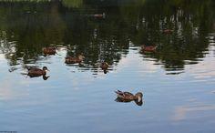 A badelynge of ducks in Silver Lake.