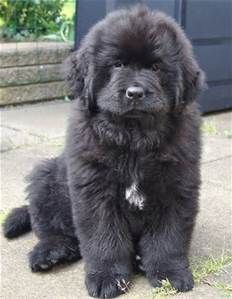 Black Lab and Newfoundland Mix - Bing images
