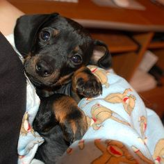 Doxie puppy   ...........click here to find out more     http://googydog.com