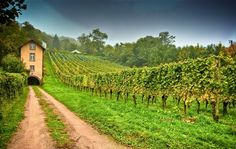 What you think about this vineyard of grapes.?