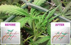 Colorado Shiva: How to Grow Marijuana Indoors (Including TONS of Tips not Just Schedule)