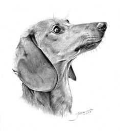 It's been months since I've drawn something. That's my last work - Bobby the dachshund. Basset Dachshund, Arte Dachshund, Long Haired Dachshund, Dachshund Love, Dachshund Drawing, Weenie Dogs, Scottish Terrier, Little Dogs, Dog Art