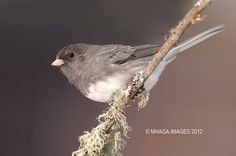 Dark-eyed Junco - Backyard - BirdWatching Daily - BirdWatching Community