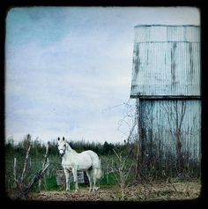 White Horse standing in a field next to a barn with by janeheller, $30.00