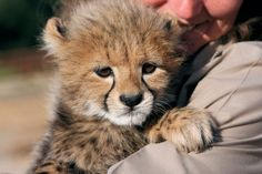 Daniell Cheetah Project is among South Africa's best known cheetah sanctuaries. You can interact with cheetahs & walk with a cheetah. And you can volunteer.
