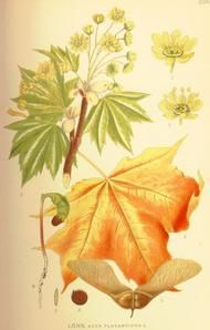 Maple: Cherokee used the inner bark of the red maple to use as a wash for sore eyes. The leaves of striped maple were used for a poultice for sore breasts. A decoration of inner bark of sugar maple for diarrhea. The Penobscot used striped maple bark in poultices for swollen limbs, and as a tea for kidney infections, coughs, colds, and bronchitis. Young maple leaves can be made into massage oil that will be soothing to sore muscles.