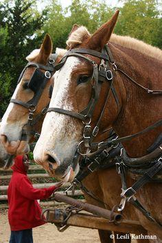 i love the belgian horses--those eyes...