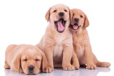 three labrador retriever puppy dogs, two barking and one looking sleepy on white backgroun Poster. Creative Dog Names, Boy Dog Names Unique, Labrador Retriever, Golden Retriever, Cute Dog Names Boy, White Labrador Puppy, Girl And Dog, My Animal, Dog Mom