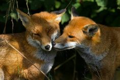 2 foxes nuzzling
