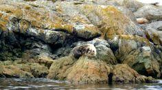 Sideways Harbour Seal