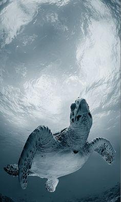 Sea turtle. °