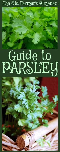 Parsley The complete Old Farmer's Almanac guide to Parsley: How to plant, raise, cultivate, harvest, Container Gardening, Gardening Tips, Urban Gardening, Parsley Plant, How To Grow Parsley, Above Ground Garden, Spice Garden, Types Of Herbs, Old Farmers Almanac