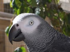 THE African Grey! Ruby, The swearing parrot. X Rated Parrot Fat Cow, Talking Parrots, Sailboat Living, Funny Parrots, Beautiful Birds, Bird Houses, Pet Birds, Caribbean, Funny Animals
