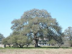 Sam Houston Oak near Gonzales - In the vicinity of the tree on March 14, 1836, Sam Houston and several hundred Texas citizen-soldiers spent one of the worst nights of their lives, coming just 8 days after the fall of their comrades at the Battle of the Alamo.