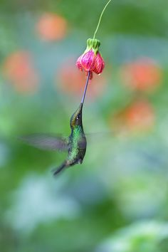 Sword-billed Hummingbird by Michal Jirouš on 500px