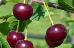Surkörsbär 'Skuggmorell' Zon: 6. Växer rätt kraftigt som yngre, växtligheten avtar och träden blir inte så stora, tidig och rik bördighet. Blomningen är sen.  Mognar: Augusti.  Självfertil. Dessa ska endast gallras och inte utsättas för samma hårda beskärning som äpple. Beskär sensommar-tidig höst för att undvika gummiflöde.