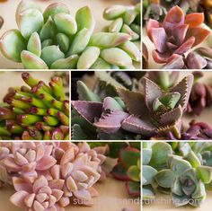 Pink Purple and Green Succulent Cuttings - Succulents and Sunshine