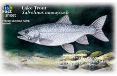 lake trout images - Google Search Trout, Drawings, Fishing, Camping, Animals, Image, Google Search, Projects, Campsite