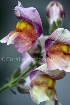 Purple Snapdragon Flowers