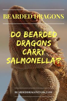 Are you wondering if bearded dragons carry salmonella? Read this article to learn why you shouldn´t be worried. Bearded Dragon Food List, Bearded Dragon Habitat, Bearded Dragon Funny, Lizard Dragon, Pet Dragon, Bearded Dragon Substrate, Bearded Dragon Lighting, Bearded Dragon Enclosure, Dragon Facts