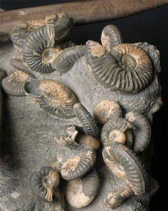 Ammonites, from Bear Rearing Bay, Isle of Skye, Scotland