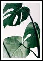 Beautiful botanical poster of a Monstera leaf. The poster is perfect to combine with other nature posters in a gallery wall. Foto Poster, Jazz Poster, Monstera Deliciosa, Paper Wall Decor, Poster Online, Poster Store, Nature Posters, Nature Plants, Poster Prints
