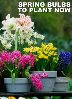 Plant Spring-Blooming Bulbs in the Fall for Early Color via @ellenblogs