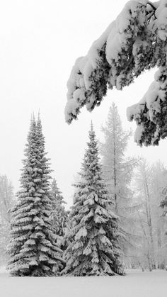 fir-trees, snow, winter, branches, weight, glade, hoarfrost, gray hair, white, landscape