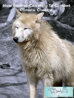 How Wolves Can Help To Combat Climate Change Arctic Wolf, Wolf Love, Wolf Pictures, White Wolf, Four Legged, Climate Change, Wolves, Mammals, Husky