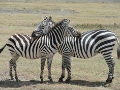Gorongoro zebras
