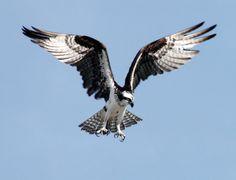 Birds of Prey - The Osprey
