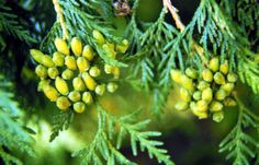 Thuja Occidentalis – Homeopathic Remedy