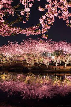 New:Yusuke Kanke CherryBlossom