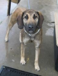 #MISSISSIPPI ~ Duke is an #adoptable Coonhound Dog in #Tupelo. Come see me soon, we might be the perfect fit! TUPELO-LEE HUMANE SOCIETY   2400 S. Gloster St.   Tupelo MS 38801   Ph 662-841-6500 info@tupeloleehumane.org