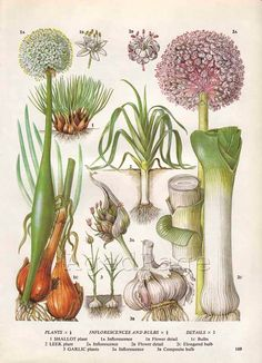 Vintage Vegetable Botanical Print, Food Plant Chart, Art Illustration, Wall Decor, Shallot, Garlic, Leek