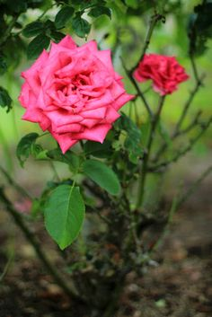 Enchanted Forest - Fuchsia Roses.  Photo by Mademoiselle Mermaid.