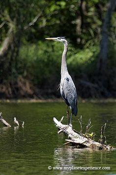 Great blue heron, Lake Martin, Louisiana.  Photo: My Planet Experience, via Flickr