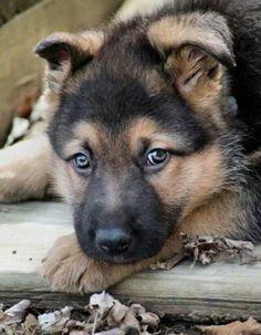 GSD pup