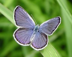 Karner Blue Butterfly ... now endangered, named for an area near my hometown.  Sooo pretty!