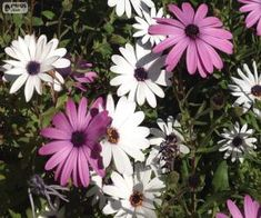 Margaritas blancas y violetas / Purple and white daisies
