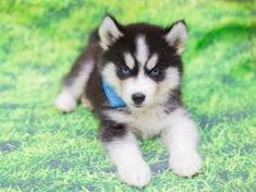 People oftentimes want something that can suit in their family a pet that could become a perfect indoor companion and there is one breed that is capable and its name is miniature husky. Husky Puppies For Sale, Mini Puppies, Cavapoo Puppies, Miniature Husky For Sale, Miniature Dogs, Siberian Husky Training, Siberian Husky Dog, Husky Breeds, Dog Breeds