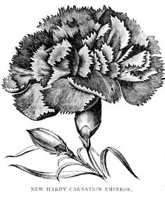 New Hardy Carnation Emperor