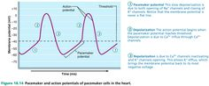 Pacemaker and action potentials of pacemaker cells in the heart.
