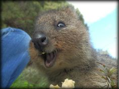 Ever Heard Of Quokka? Meet Australia's Rarest, Happiest, and Most Adorable Animal - Dose - Your Daily Dose of Amazing