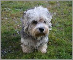 The Dandie Dinmont Terrier was bred in Britain for killing badgers & rats. Despite this pedigree, it is not quarrelsome & snappy like many& The post Dandie Dinmont Terrier & Page 1 appeared first on SH Dogs. Terrier Breeds, Terrier Puppies, Dog Breeds, Terriers, Dandie Dinmont Terrier, All Types Of Dogs, Cat Gif, My Animal, Dog Owners
